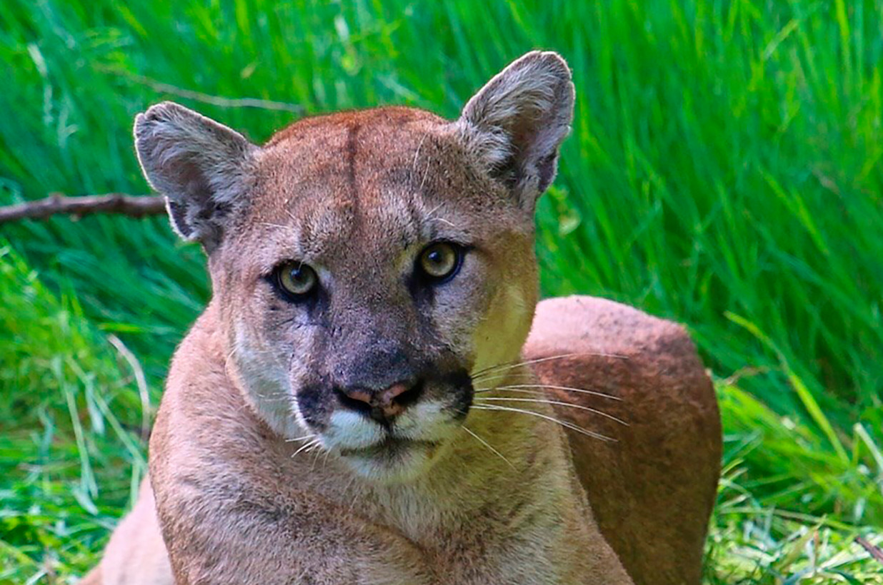 cali-man-charged-with-shooting-mountain-lion